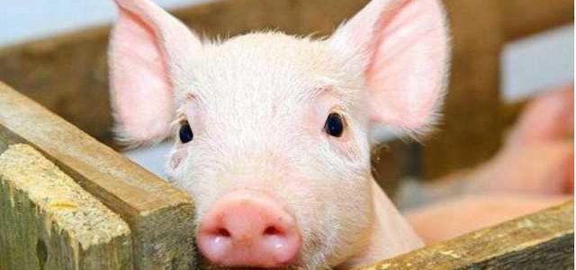 Через африканську чуму на Херсонщині знищили понад п'ять тисяч свиней